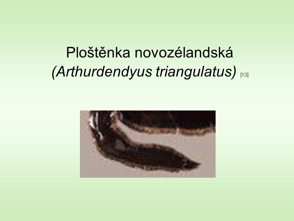 Ploštěnka novozélandská (Arthurdendyus triangulatus) [13]